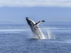 humpback-whale-436120_1280